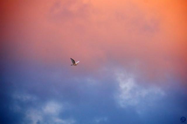 Flying herons on sunset / Vuelo de Garzas en atardecer