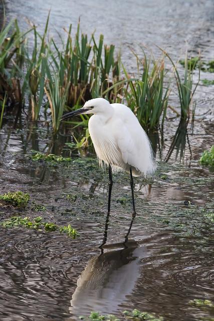 Little egret stalking