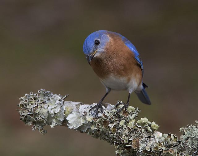 Eastern Bluebird, male
