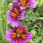 Trio of alstroemeria blooms