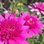 Bright pink chrysanthemums