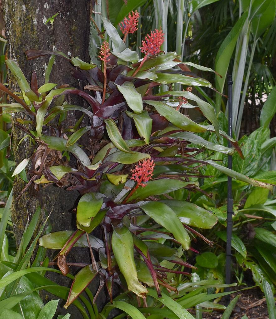 Aechmea fulgens, Flecker Botanic Garden, Cairns, QLD, 14/01/20