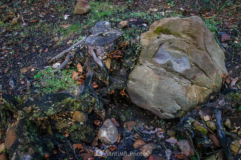 Raíz apoyada en una roca por el Camí de Pererols