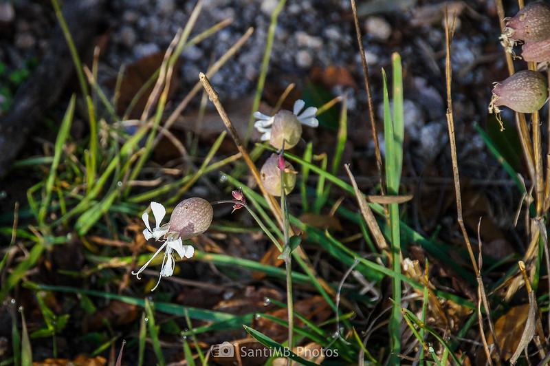 Flores de colleja (Silene vulgaris) en el Camí de Pererols