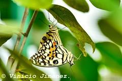 Lime Butterfly #viniciojimenezphoto IG:@viniciojimenezphoto_
