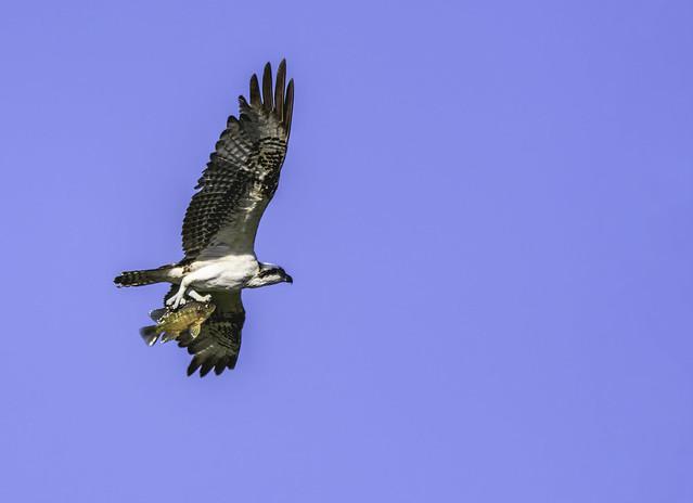 Osprey(female) with prey