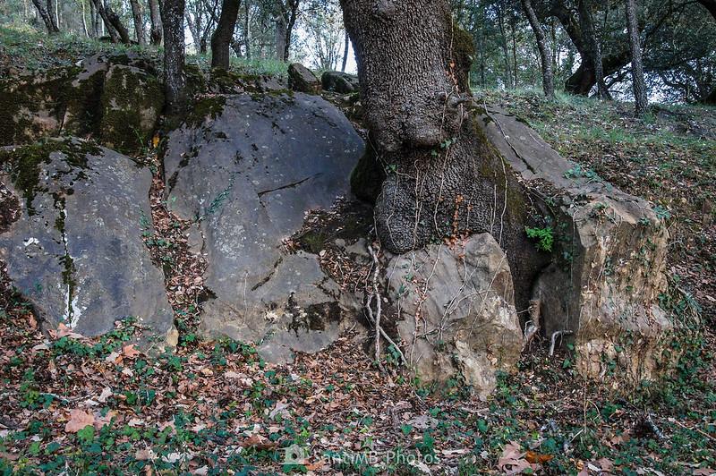 Encina sobre una roca en la entrada a Mas Molera