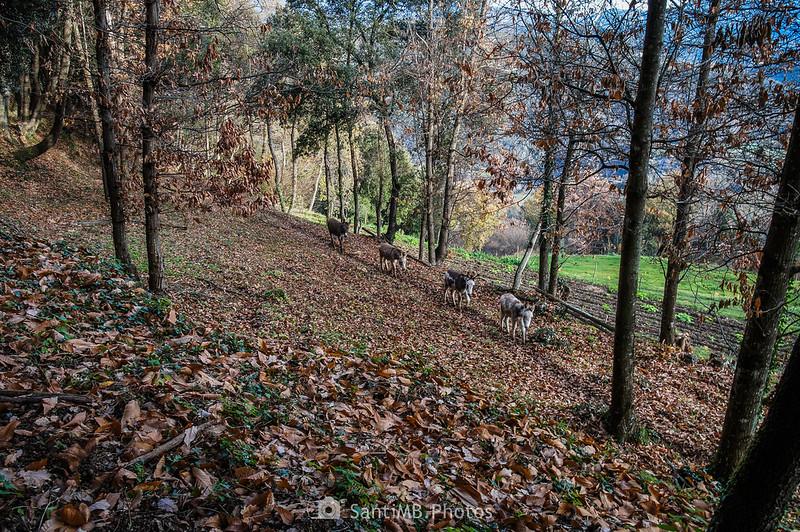 Grupo de asnos en el bosque frente a Cal Gall