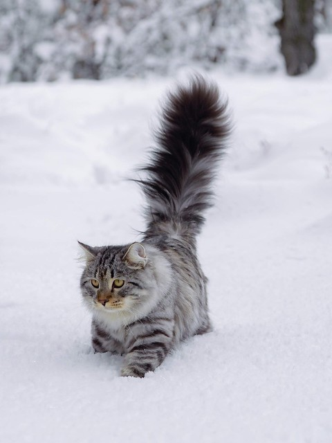 I like SoCal snow so much - my raised tail is the proof! #adventurecat #catsofinstagram #cats #kittens #siberiancat#photography #catloversclub#cutecatskittens #cutecatsco #meowstagram #catstagramcat #hikingwithcats #9cattagram #bestmeow #meow #meowdel