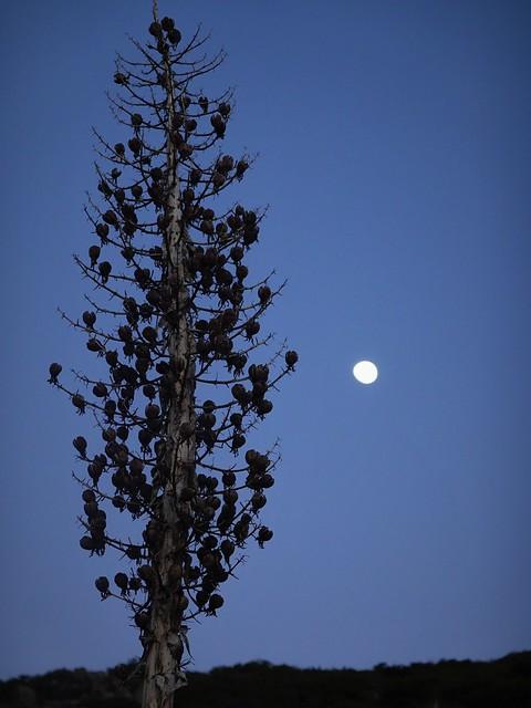 Seed Head and Moon SR601994