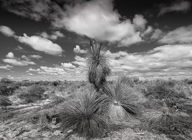 Grass Trees of the Kalbarri.