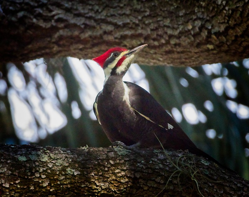 Pileated woodpecker shows off its mohawk