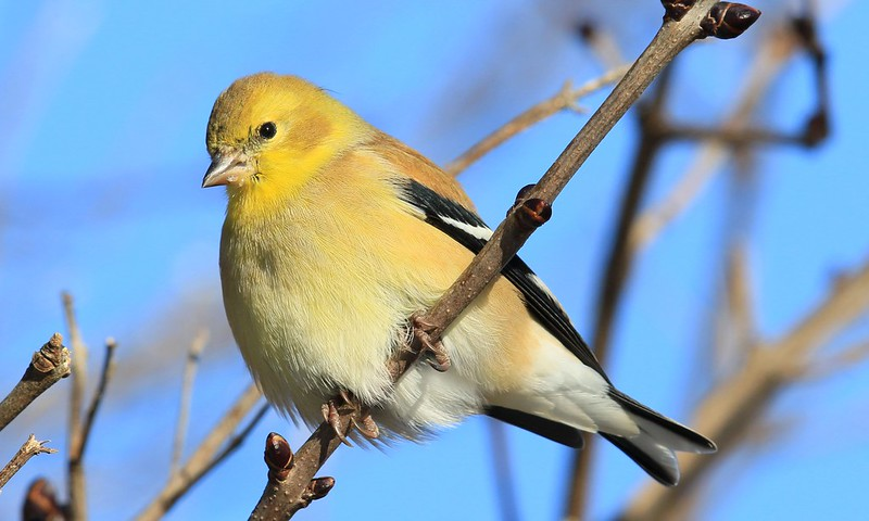American goldfinch at Lake Meyer Park IA 653A9127