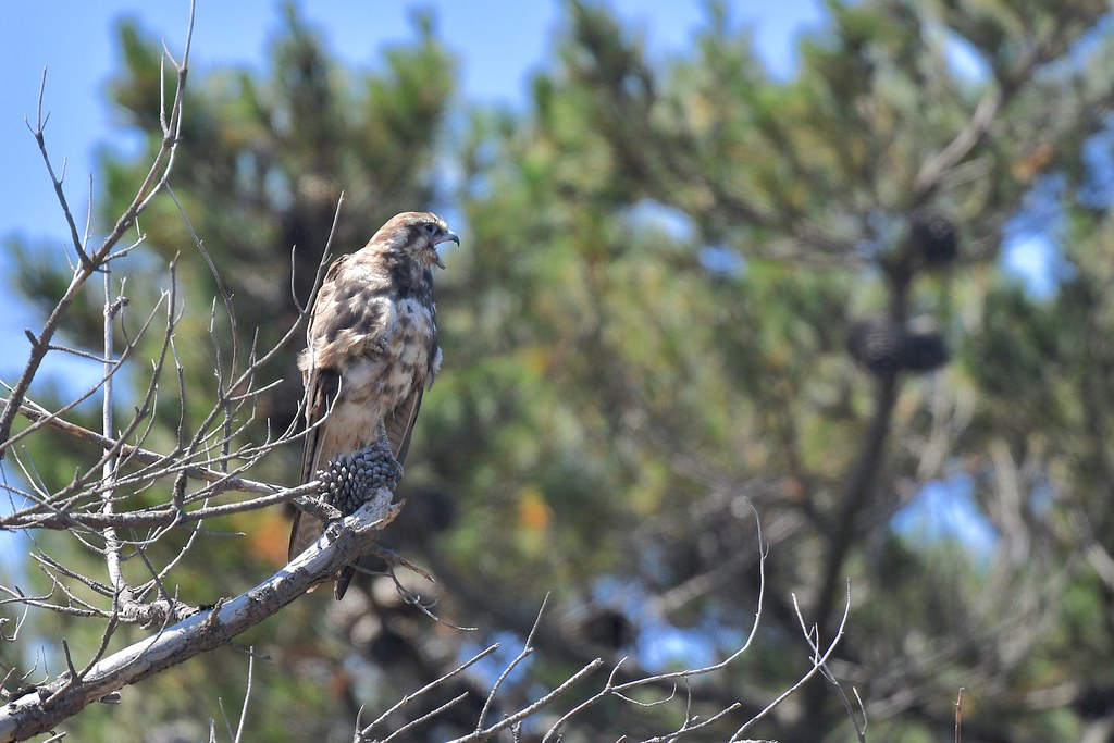 Brown Falcon ( just a quick rest )