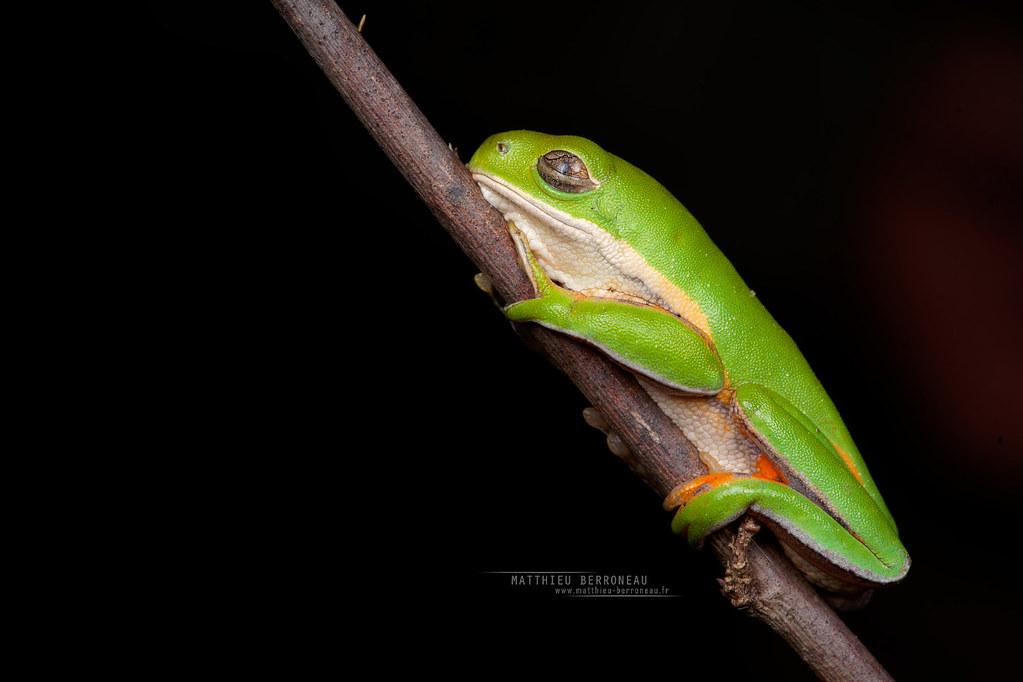 Pithecopus azureus