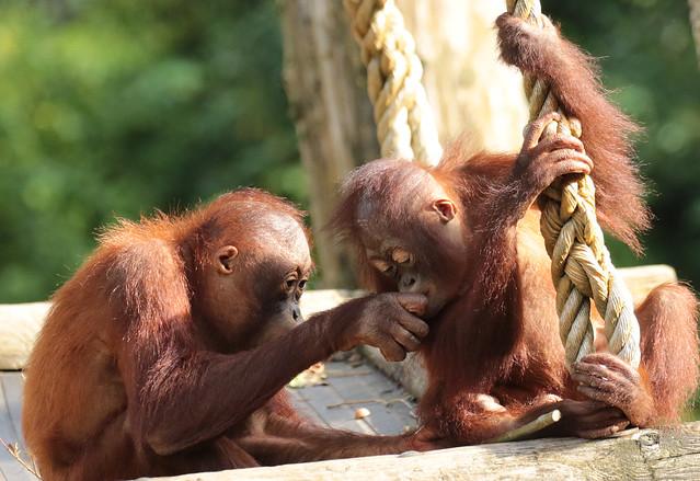 borneo orangutan Indah and Baju Apenheul BB2A1501