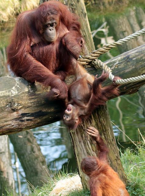 borneo orangutan Indah and Baju Apenheul BB2A1631