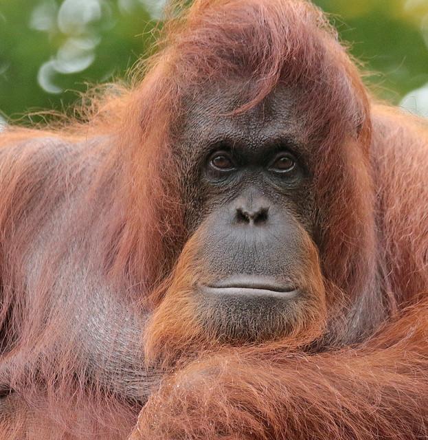 Borneo orangutan Sandy Apenheul BB2A0374