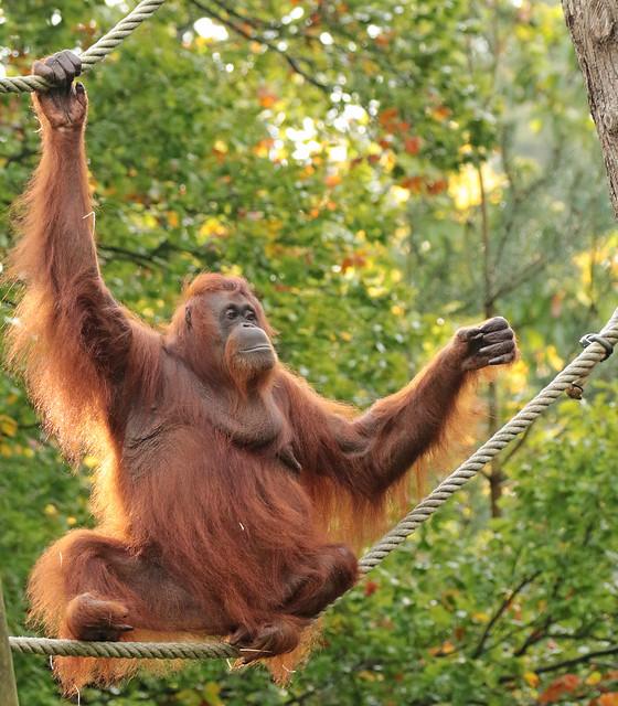 Borneo orangutan Sandy Apenheul BB2A0349