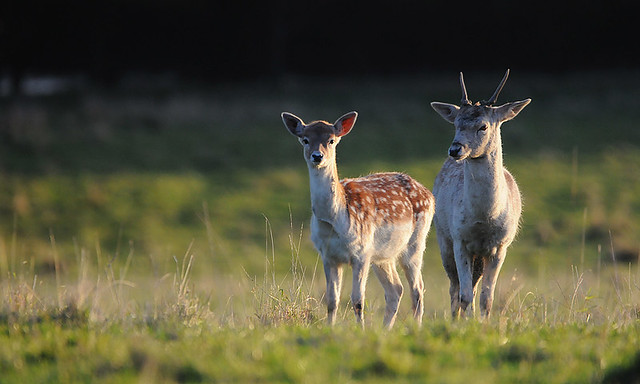 Fawn & Pricket