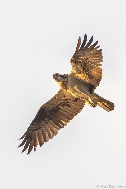 Kalasääski (Pandion haliaetus), Osprey (G10A9119LR)