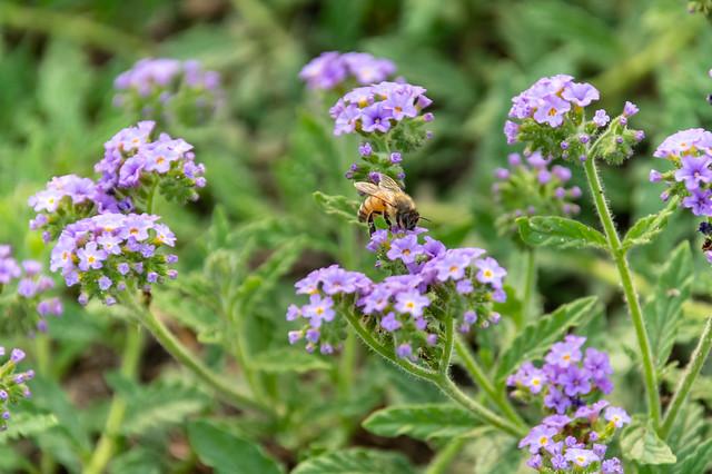 Purple wildflowers and bee
