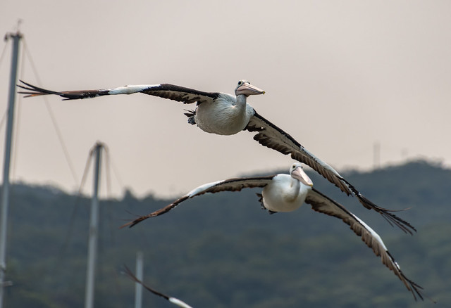 Pelicans incoming