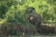 Savanna elephant Zambezi River, Zambia