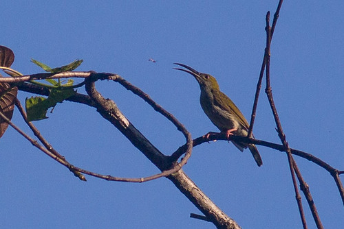 Bornean SpiderHunter