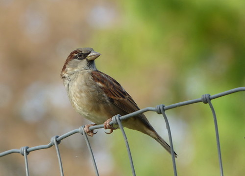 housesparrow sparrow bird animal fence wire object nature bokeh travel texas