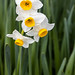 White & Yellow Narcisuss (I), 1.13.20