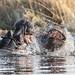 Hippo posturing - Okavango tributary, Nambwa, Caprivi, Namibia.