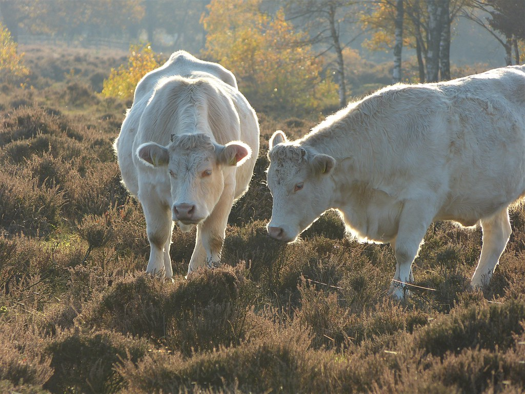 Charolais cattle in nature area De Stulp near Baarn