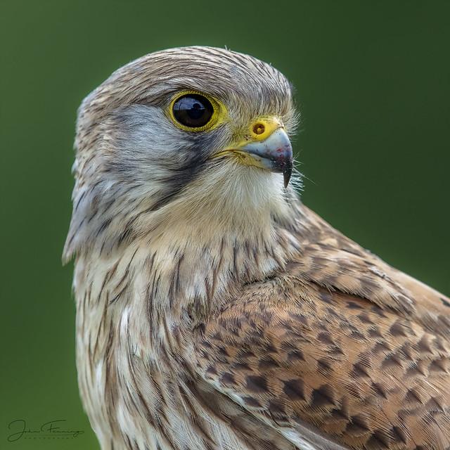 Kestrel (Juvenile male) - Wild