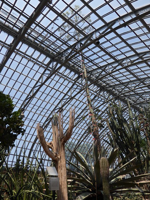 Chicago, Garfield Park Conservatory, Blooming Century Plant