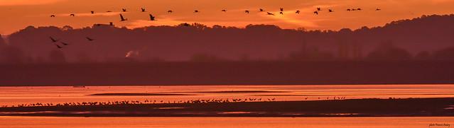 Lac du Der  ....Grues cendrées....Cranes...