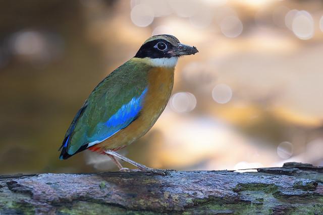 Blue-winged pitta ,馬來八色鶇 (High Resolution mode)