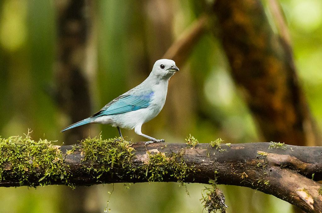 0P7A0737  Blue-gray Tanager, Ecuador