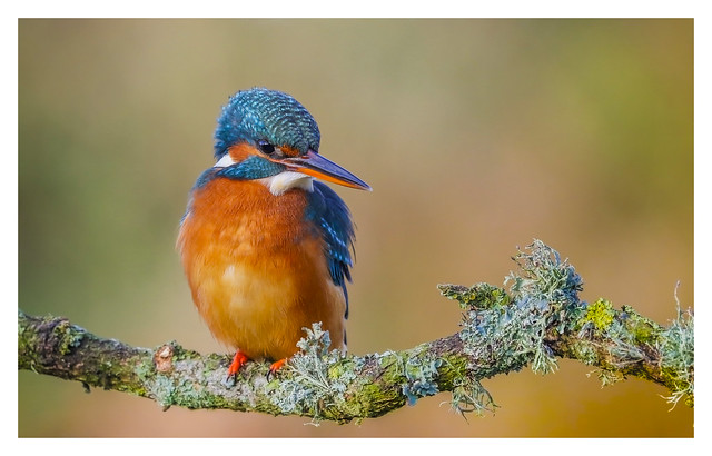 Kingfisher (F) - (Alcedo atthis) 'L' for LARGE