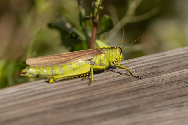 Grasshopper on the Fence