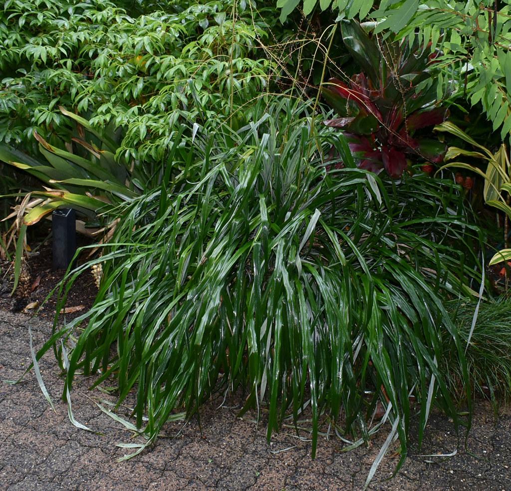 Pitcairnia spicata?, Flecker Botanic Garden, Cairns, QLD, 14/01/20
