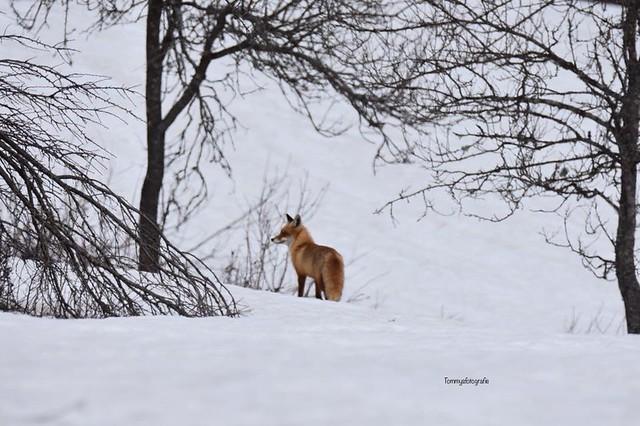 Fox in the snow in Rakovica