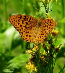Checkerspot Fritillary Sequoia 3386