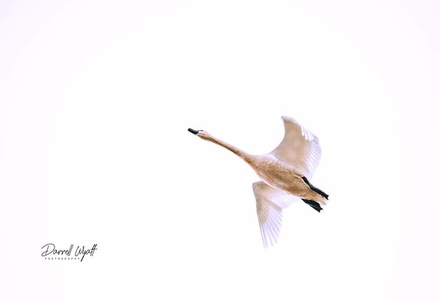 I was at the wildlife preserve last week when a tundra swan flew overhead.