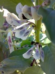 Primi fiori di fave(segue descrizione)