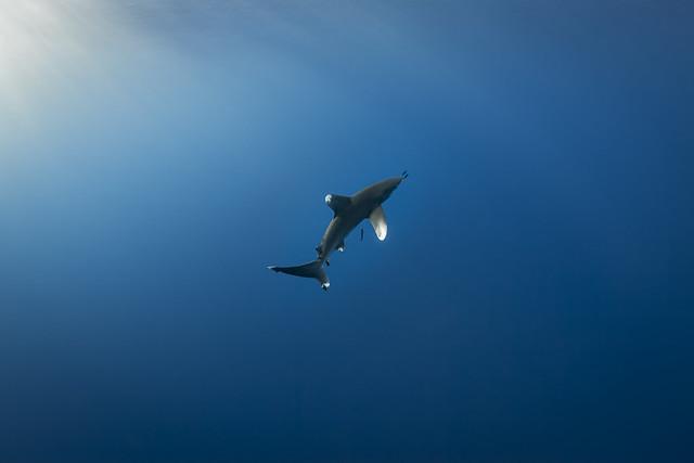 Oceanic whitetip shark-Requin océanique (Carcharhinus longimanus)