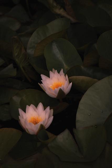 Seerose - Water Lily