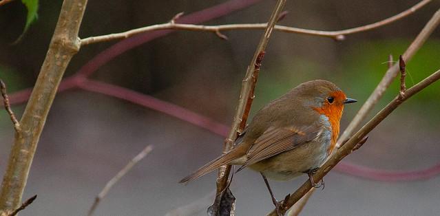 Winter Robin Sussex