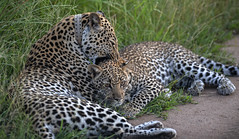 Mother and Kid - Leopards - Queen Elizabeth National Park