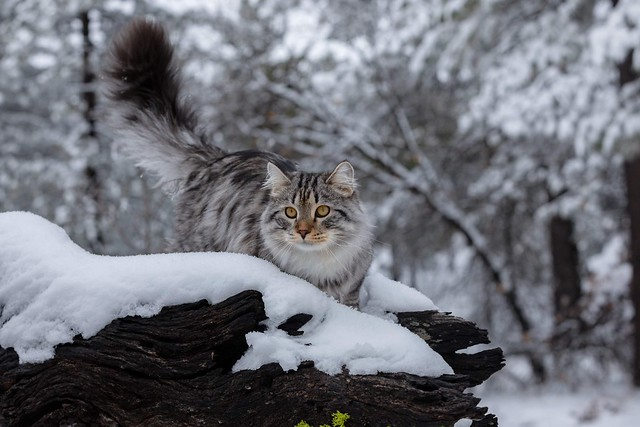 I feel so much at home at this winter wonderland. Is it because I am a Siberian forest kitten? #siberiancat #meowbox #outdoorcat #fluffycatfluffycat #kitty #instacat_meows #kittens ##catstagramcat #cats_of_world #meowstagram #hikingwithcats #catloversclub